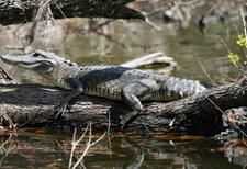 Alligator in swamp